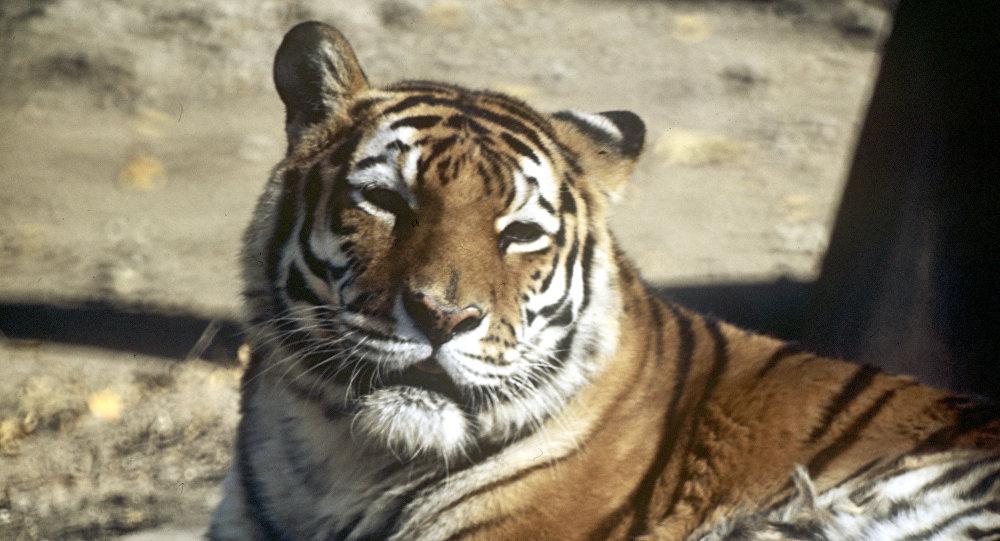 Амурский (уссурийский или дальневосточный) тигр